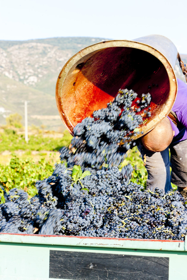 Languedoc harvest particularly affected