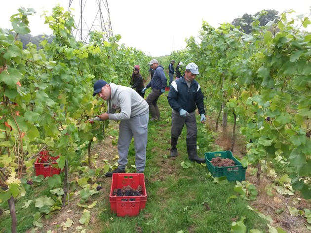 Bolney grape harvest
