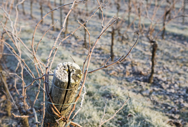 Frost on Chilean vines has reduced harvests.