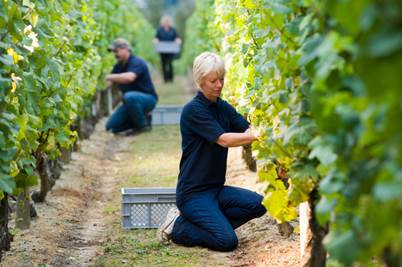 The harvest at Nyetimber