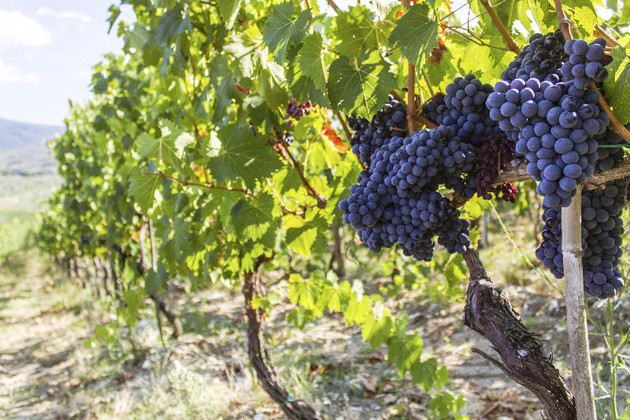 Atkin: winemakers are right to follow the right path for their vines