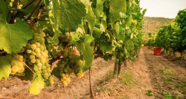 Franciacorta set for strong harvest - Harpers Wine Spirit Trade News